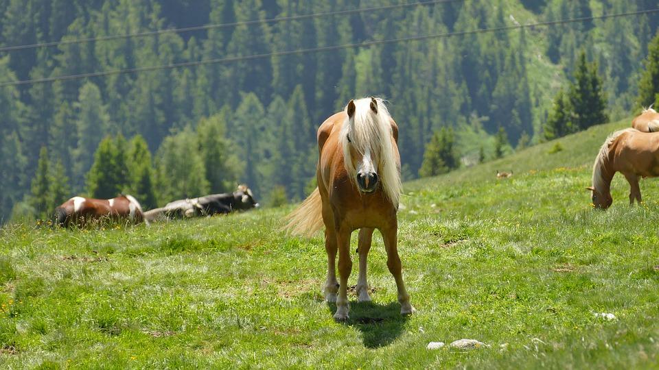 Raça Haflinger no Tirol
